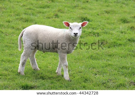 A lamb in a meadow. - stock photo