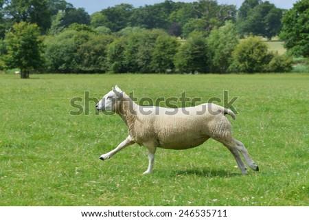 A Lamb Runs through a Green Farmland Field - stock photo
