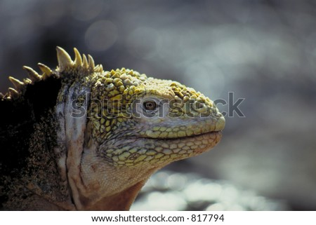 A land iguana is on the move on the Galapagos Islands, Ecuador - stock photo