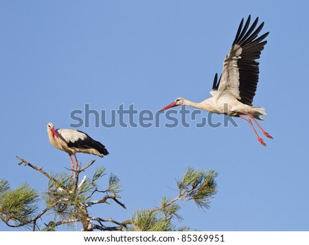 a landing european stork - stock photo