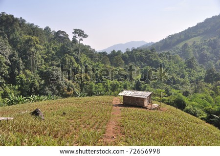 A landscape showing a wood cabin with asbestos roof sitting on a pineapple field shot against tree covered hills in Chiang Mai, Thailand.