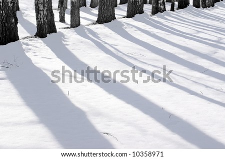 A landscape. Solar winter morning, long shadows of trunks of an old birch wood on a pure white snow.