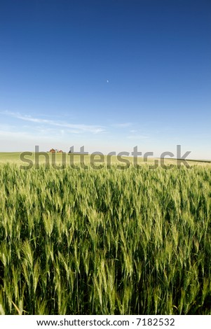 A landscape with wheat and a farm on the horizon - stock photo