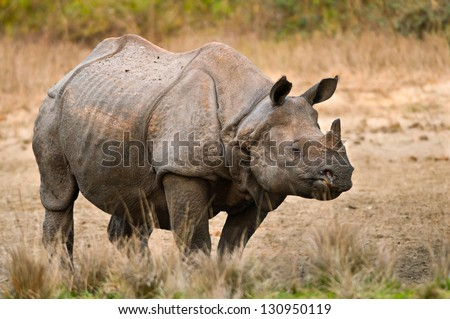 A large adult one horned rhinoceros in a salt lick at Jaldapara Wildlife Sanctuary in India. - stock photo