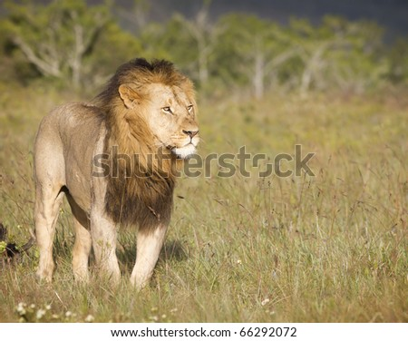 A large African lion overlooks a grassland in search of prey in late afternoon light. - stock photo