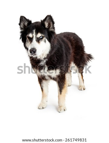 A large Alaskan Malamute mixed breed dog standing with an angry scowl expression on his face. Image taken isolated on a white studio background.
