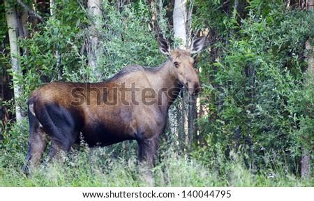 A large Alaskan Moose stands woods edge Alaska Animal Wildlife - stock photo