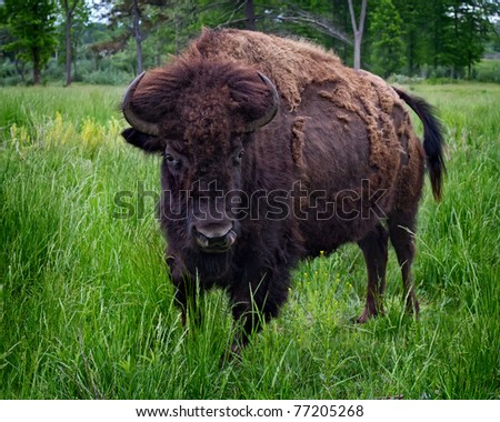 A large American Bison (buffalo) in a field.