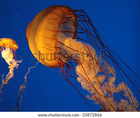 a large and a small jellyfish with long tentacles - stock photo