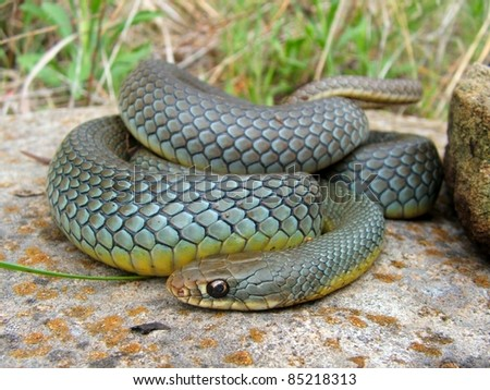 A large and colorful Eastern Yellow-bellied Racer snake, Coluber constrictor flaviventris, coiled defensively with a large meal in its belly - stock photo