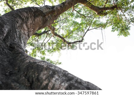 A large banyan tree isolated on white background