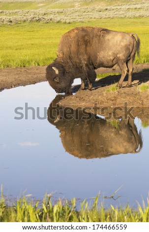 A large Bison drinks from still waters in Yellowstone National Park. - stock photo