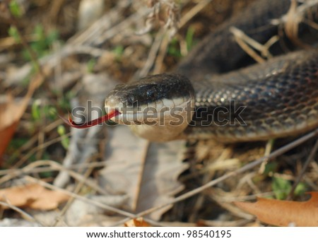 A large black snake flicking its tongue hunting, smelling prey - Black Rat Snake, Pantherophis obsoleta - stock photo