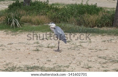 A large blue heron stands along side the Gulf Coast. - stock photo