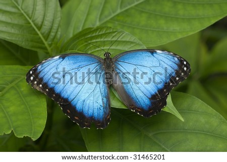 A large Blue Morpho Butterfly resting on a leaf, horizontal with copy space