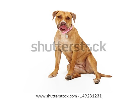 A large breed yellow dog sitting against a white background with her tongue out licking her lips - stock photo