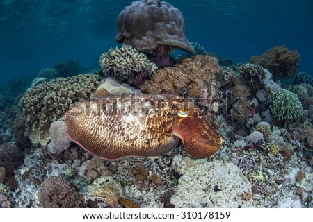 A large Broadclub cuttlefish (Sepia latimanus) changes colors as it hovers above a coral reef in Komodo National Park, Indonesia. Cuttlefish can communicate using color changes.