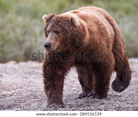 A large brown bear walking along the bank of a river, watching for salmon