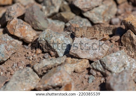 A large brown grasshopper hiding among gravel and rocks on a sunny day.