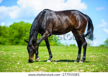 A large brown horse eats grass. Horse grazing on a meadow. - stock photo