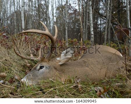 A large buck taken during deer hunting season - stock photo