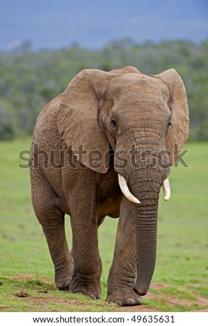 A large Bull Elephant challenges the photographer