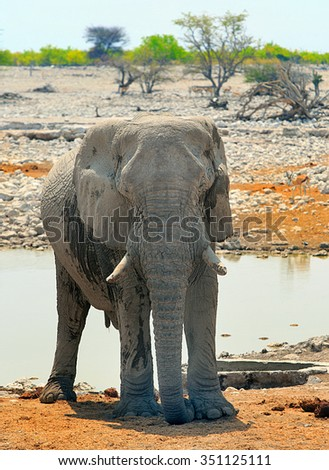 A large Bull elephant standing infant of a waterhole in Okaukeujo Camp