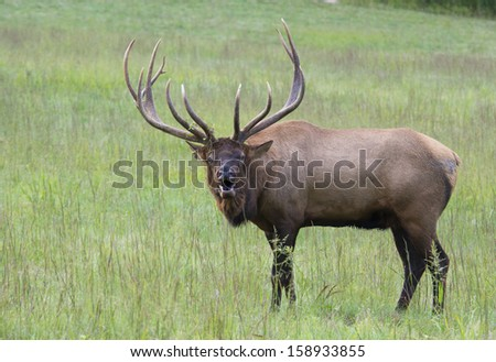 A large bull Elk sounds a bugle while calling to another male.