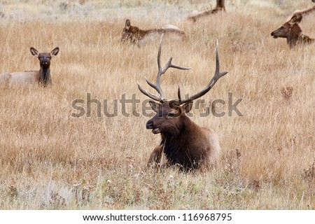 A large bull elk stands watch over his heard of does and calves during the fall rutting season. Estes Park, Colorado.