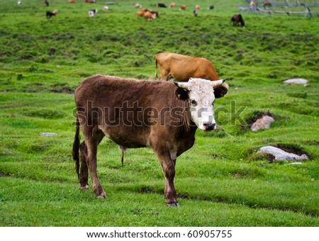 A large bull in a country pasture - stock photo