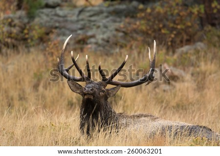 A large bull North American elk laying down in an open meadow during the rut in Rocky Mountain National Park in Colorado. - stock photo