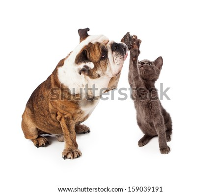 A large Bulldog and a little gray kitten raising their paws to give a friendly high five gesture. Isolated against a white backdrop - stock photo