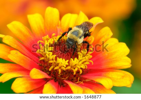 A large bumble bee partaking of a large orange bloom.