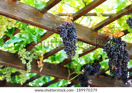 A large bunch of grapes hanging from a roof on the island of Crete. Greece - stock photo