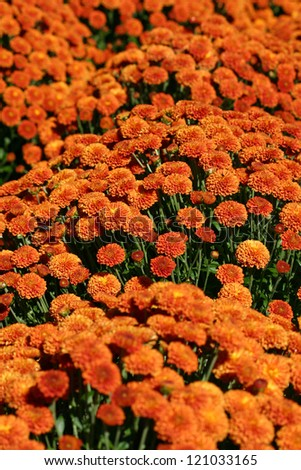 A large bunch of pretty orange Mums - stock photo