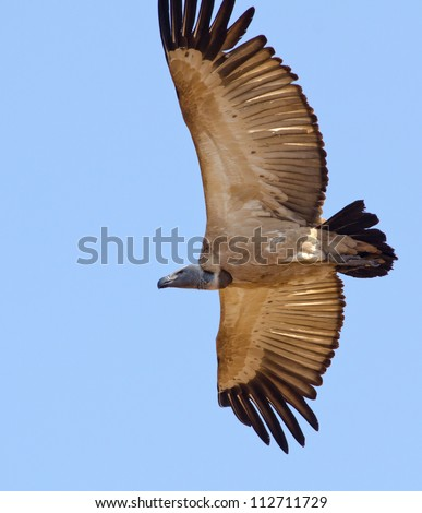 A large Cape Vulture flying against a blue sky - stock photo