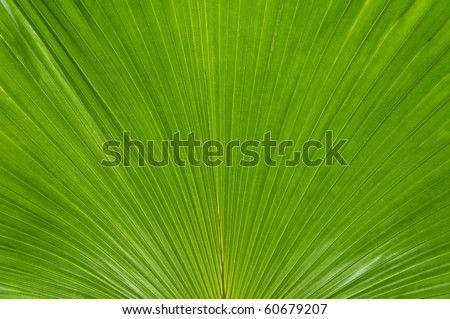 A large close-up of a green palmate palm frond. - stock photo