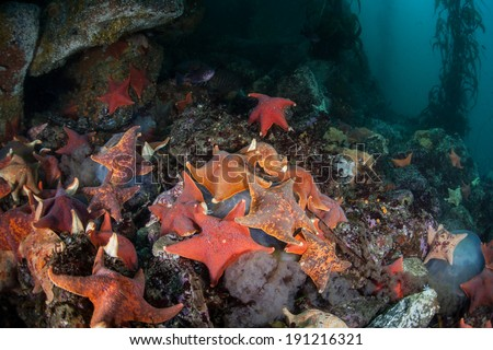 A large collection of colorful Bat sea stars (Asterina miniata) feed on a jellyfish on the rocky bottom of a kelp forest growing off the coast of Northern California.  - stock photo