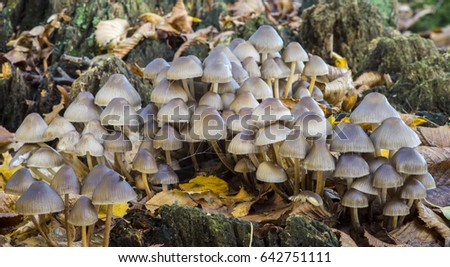 A large collection of mushrooms growing on an old stump in a forest location