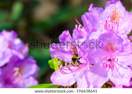 A large colourful bee on a beautiful Rhododendron - stock photo