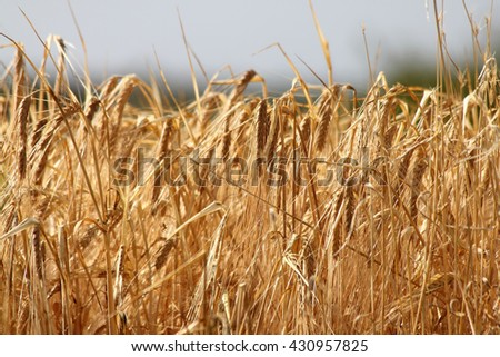 A large cornfield, ready for harvest