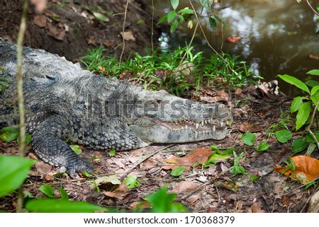 A large crocodile lays on the bank of of pond with his mouth open and keeping watch on movement around him. - stock photo