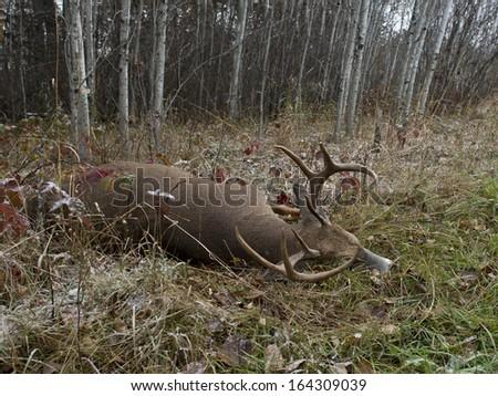 A large Deer taken during deer season - stock photo