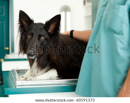 A large dog at a small animal clinic - stock photo