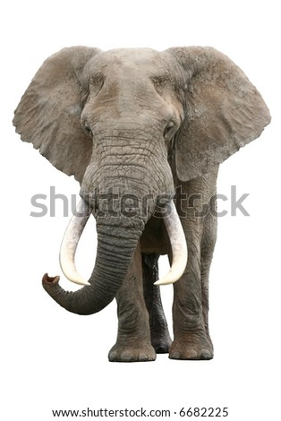 A large elephant bull with enormous tusks isolated on white background