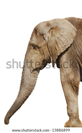 A large elephant isolated on white background - stock photo