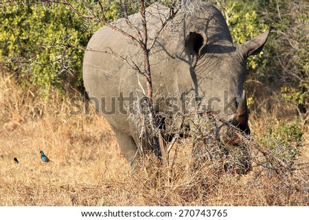 A large, endangered White Rhinoceros grazes in a South African game reserve. - stock photo