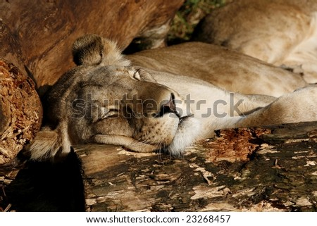 a large female lion resting between some wooden logs