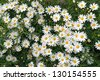 a large field of daisies 2 - stock photo
