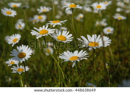 a large field of daisies. spring or summer. The concept of purity and freshness, health and joy